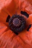 Macro Of Red Poppy Stock Image