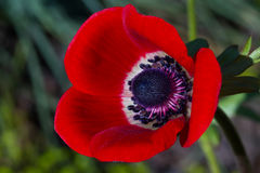 Macro of a red poppy anemone Royalty Free Stock Images