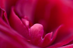 Macro of red rose. Macro of fresh red rose Royalty Free Stock Photography