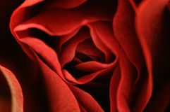 Macro of red rose Royalty Free Stock Image
