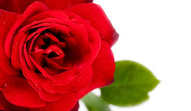 Macro of red rose Stock Image