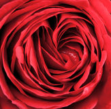 Macro of red rose Royalty Free Stock Photo