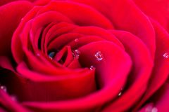 Macro of a red rose with dew water drops Royalty Free Stock Photo