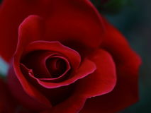 Macro red rose petals. A single  red rose in the rose garden Royalty Free Stock Photography