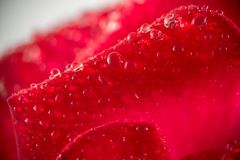 Macro of red rose petals. With water drops, flower, love, nature, beauty, gift, beautiful, floral, bloom, single, blossom, fresh, garden, close, closeup, close royalty free stock photo