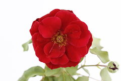 Macro red rose Royalty Free Stock Images