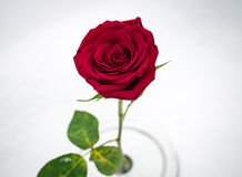 Macro Red Rose In Snow from Above Stock Photography