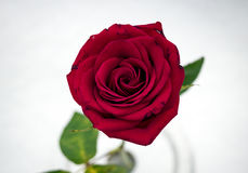 Macro Red Rose In Snow from Above Stock Images