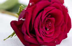 Macro Red Rose In Snow with Snowflakes Royalty Free Stock Photo
