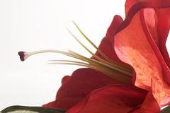 Macro of Red Tiger Lily. Petals and pollen stock photography