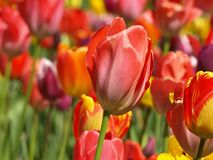 Beautiful red tulip in a tulip field royalty free stock photography