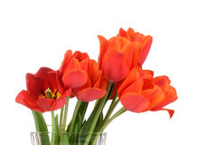 Macro Red tulips Royalty Free Stock Image