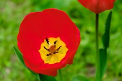 Macro red tulips petal pistil stamens in the park. Spring landscape. Macro red tulips petal pistil stamens in the park. Spring bloom landscape royalty free stock images