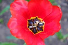 Macro red tulips petal pistil stamens in the park. Spring landscape. Macro red tulips petal pistil stamens in the park. Spring bloom landscape royalty free stock photos