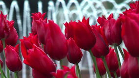 Macro of red tulips stock footage