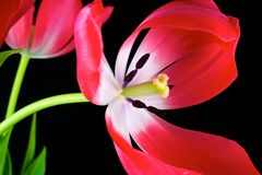 Free Macro Red Tulips1 Royalty Free Stock Photography - 29716097