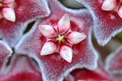 Macro red wax plant flower  Stock Image
