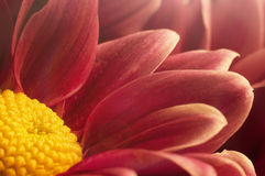 Macro of red and yellow chrysanthemum Royalty Free Stock Image