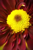 Macro red and yellow daisies Stock Photography