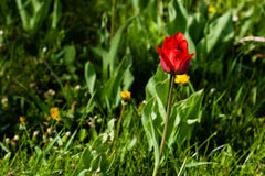 Macro of red-yellow tulips on background of green grass Stock Photography