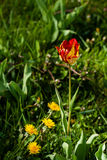 Macro of red-yellow tulips on background of green grass Royalty Free Stock Photo