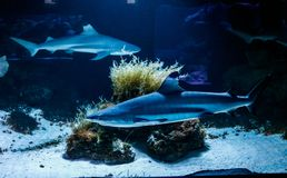 Macro reef black shark carcharhinus melanopterus. Close up stock photography