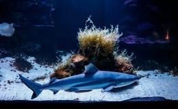 Macro reef black shark carcharhinus melanopterus. Close up stock images