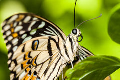 Macro of a relaxing brown butterfly Royalty Free Stock Photos