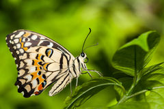 Macro of a relaxing brown butterfly Royalty Free Stock Images