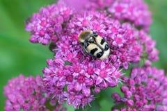 Macro repéré de scarabée Image stock
