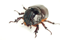 Macro of rhinoceros or unicorn beetle Royalty Free Stock Images