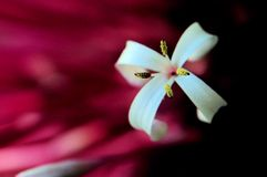 Macro, Rhododendron flower, Florida Royalty Free Stock Photos