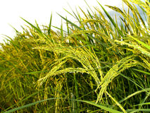 Macro Rice 10 Royalty Free Stock Images