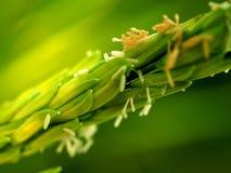Macro Rice Stock Images