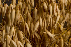 Macro of ripe dry cereal Royalty Free Stock Photos