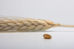 Macro of ripe ear and single grain. Wheat ear and one corn on white background Royalty Free Stock Image