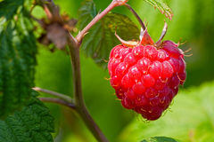 Macro of Ripe red raspberry. Close up view of a ripe red raspberry fruit in a garden Royalty Free Stock Photo