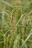 Macro risone nel giacimento del riso Immagine Stock Libera da Diritti