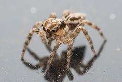 Macro ritratto del ragno Fotografia Stock