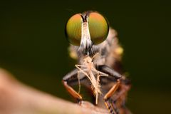 Super macro 3:1 of Robber Fly Stock Photography