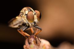 Super macro 3:1 of Robber Fly Royalty Free Stock Photo