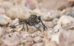 Macro of Robber Fly on Rocky Ground Royalty Free Stock Photos