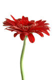 Macro rode bloem Royalty-vrije Stock Foto's
