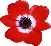 Macro roja de la flor de la anémona Fotos de archivo libres de regalías