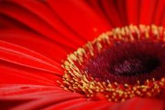 Macro roja de la flor de la margarita Imagen de archivo libre de regalías