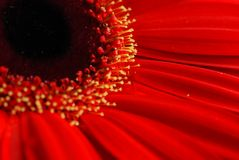 Macro roja de la flor de la margarita Fotografía de archivo