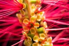 Macro roja de la flor del Bottlebrush Foto de archivo libre de regalías