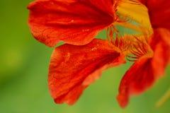 Macro roja del extracto de la flor de la capuchina Fotos de archivo