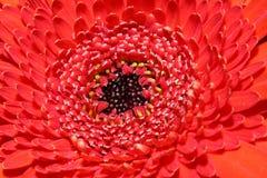 Macro roja del Gerbera Foto de archivo