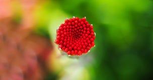 Macro roja hermosa de la flor Imágenes de archivo libres de regalías